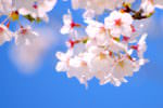 懐古園桜祭り