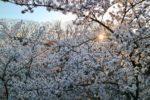 (日本語) 桜の開花時期