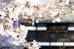 (日本語) 【周辺情報】 日本桜100選『日本さくら懐古園の桜祭り』