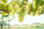 (日本語) ワイン用ぶどう収穫ボランティア募集