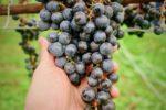 (日本語) ワイン用メルロー収穫ボランティア募集!
