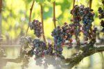 ワイン用葡萄収穫ボランティア募集のお知らせ